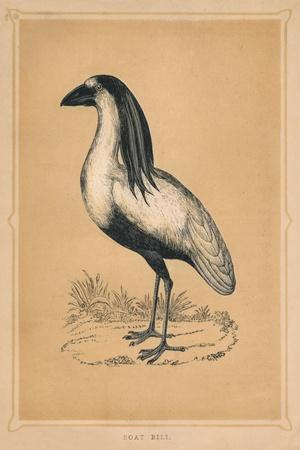 'Boat Bill', (Cochlearius cochlearius), c1850, (1856)-Unknown-Framed Giclee Print