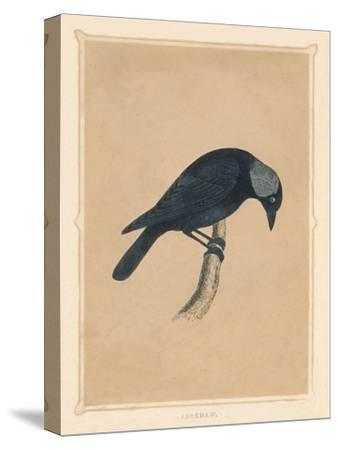 'Jackdaw', (Corvus monedula), c1850, (1856)-Unknown-Stretched Canvas Print