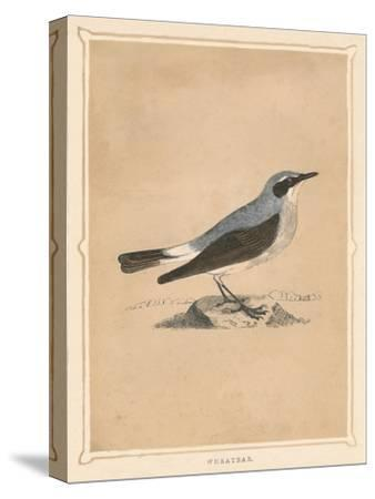 'Wheatear', (Oenanthe), c1850, (1856)-Unknown-Stretched Canvas Print