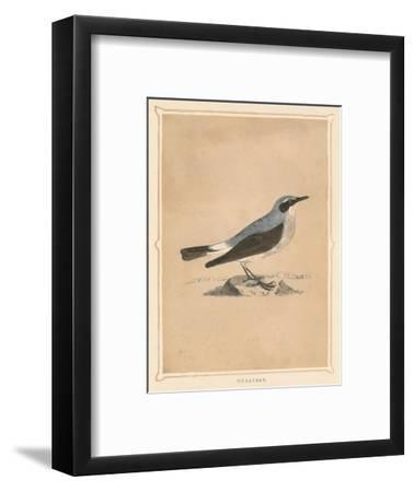 'Wheatear', (Oenanthe), c1850, (1856)-Unknown-Framed Giclee Print