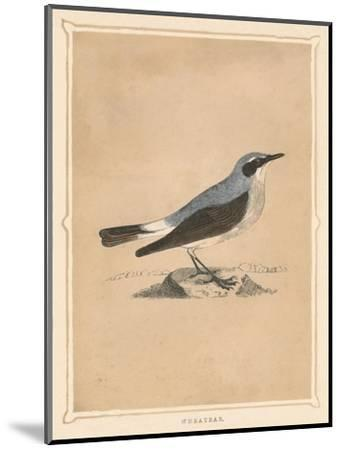 'Wheatear', (Oenanthe), c1850, (1856)-Unknown-Mounted Giclee Print
