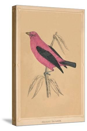 'Scarlet Tanager', (Piranga olivacea), c1850, (1856)-Unknown-Stretched Canvas Print