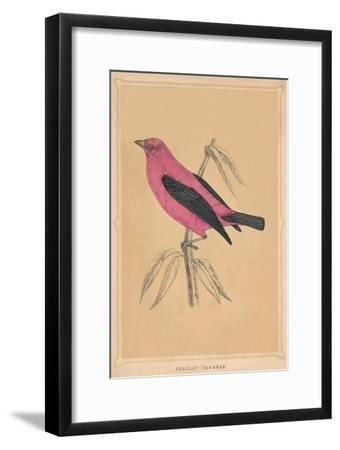 'Scarlet Tanager', (Piranga olivacea), c1850, (1856)-Unknown-Framed Giclee Print