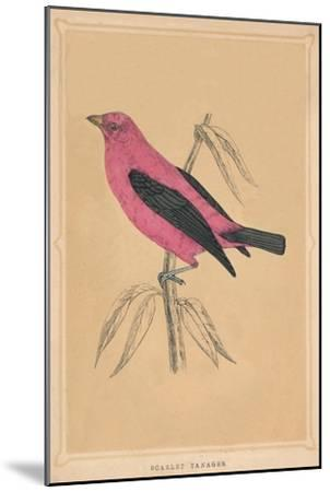 'Scarlet Tanager', (Piranga olivacea), c1850, (1856)-Unknown-Mounted Giclee Print