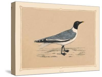 'Gull', (Laridae), c1850, (1856)-Unknown-Stretched Canvas Print