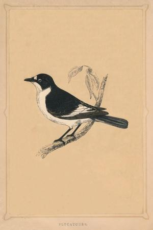 'Flycatcher', (Muscicapidae), c1850, (1856)-Unknown-Framed Giclee Print