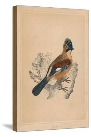 'Jay', (Garrulus glandarius), c1850, (1856)-Unknown-Stretched Canvas Print