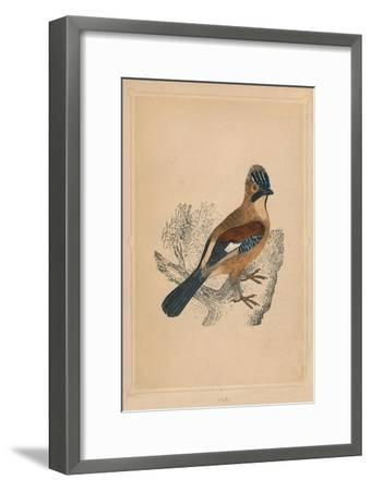 'Jay', (Garrulus glandarius), c1850, (1856)-Unknown-Framed Giclee Print