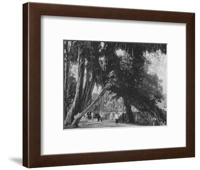 'Banyan Tree at Kalutara', c1890, (1910)-Alfred William Amandus Plate-Framed Photographic Print