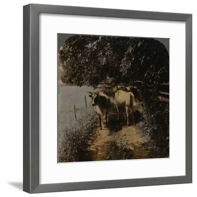 'Cows coming home up the lane at milking-time', c1900-Elmer Underwood-Framed Photographic Print