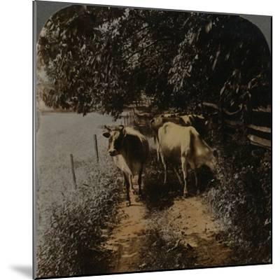 'Cows coming home up the lane at milking-time', c1900-Elmer Underwood-Mounted Photographic Print