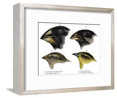 Four or the species of finch observed by Darwin on the Galapagos Islands-Unknown-Framed Giclee Print