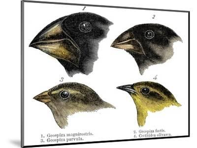 Four or the species of finch observed by Darwin on the Galapagos Islands-Unknown-Mounted Giclee Print
