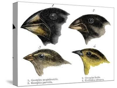 Four or the species of finch observed by Darwin on the Galapagos Islands-Unknown-Stretched Canvas Print