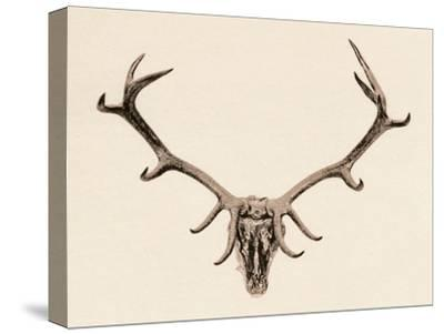 'Head of a Deer', c16th century, (1904)-Unknown-Stretched Canvas Print