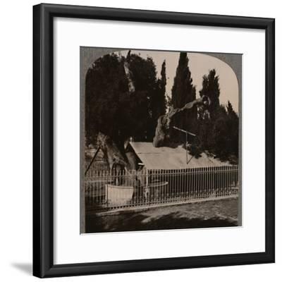 'Abraham's Oak near Hebron', c1900-Unknown-Framed Photographic Print