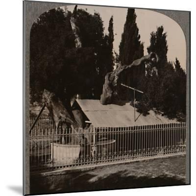 'Abraham's Oak near Hebron', c1900-Unknown-Mounted Photographic Print