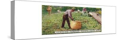 'Removing Tobacco Plants from Bed', 1926-Unknown-Stretched Canvas Print