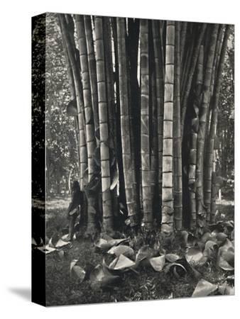 'Der untere Teil der Halme einer Pflanze des Riesenbambus in Peradeniya', 1926-Unknown-Stretched Canvas Print