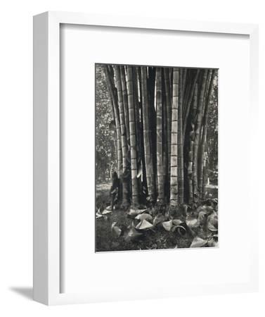 'Der untere Teil der Halme einer Pflanze des Riesenbambus in Peradeniya', 1926-Unknown-Framed Photographic Print