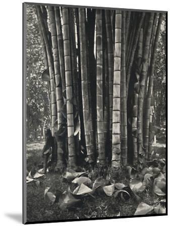 'Der untere Teil der Halme einer Pflanze des Riesenbambus in Peradeniya', 1926-Unknown-Mounted Photographic Print