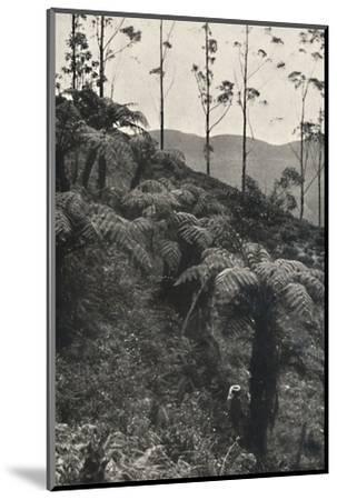 'Baumfarne (Alsophila crinita u. a.)', 1926-Unknown-Mounted Photographic Print