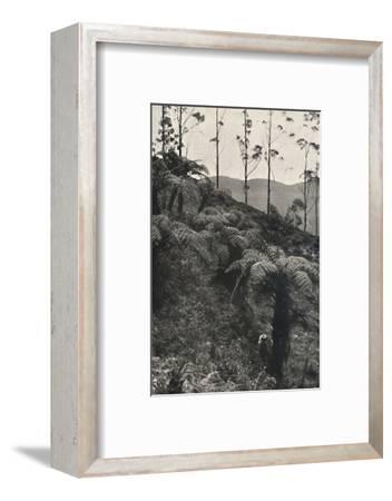 'Baumfarne (Alsophila crinita u. a.)', 1926-Unknown-Framed Photographic Print