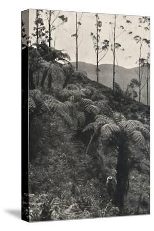 'Baumfarne (Alsophila crinita u. a.)', 1926-Unknown-Stretched Canvas Print