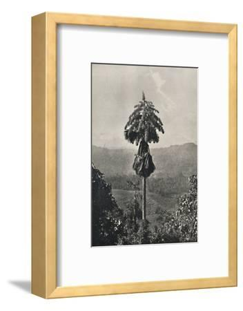 'Die Talipotpalm (Corypha umbracalifera) in Blute', 1926-Unknown-Framed Photographic Print