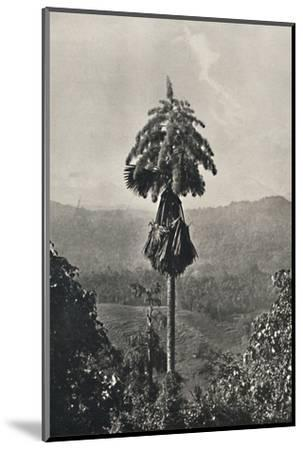 'Die Talipotpalm (Corypha umbracalifera) in Blute', 1926-Unknown-Mounted Photographic Print