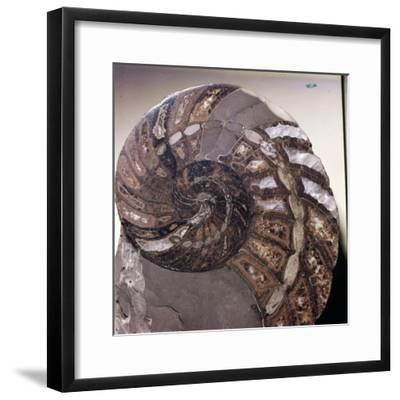 Section of Fossil Nautilus Shell-Unknown-Framed Giclee Print