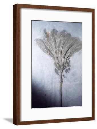 Fossil. Crinoid Lily, Ordovician to Pleistocene period, c450 million-10,000 BC-Unknown-Framed Giclee Print