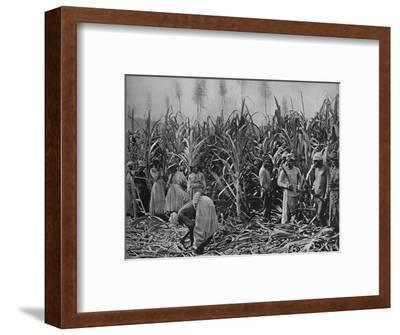 'Cane-Cutters in Jamaica', 1891-Unknown-Framed Photographic Print