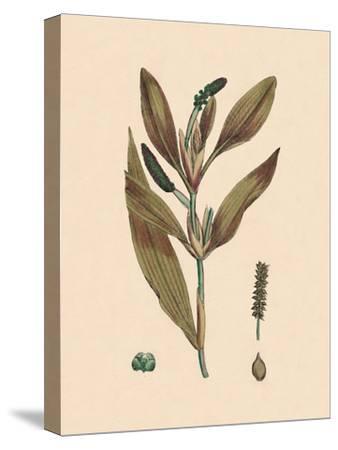 'Potamogeton rufescens. Reddish Pondweed', 19th Century-Unknown-Stretched Canvas Print