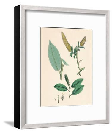 'Salix pentandra. Bay-leaved Willow', 19th Century-Unknown-Framed Giclee Print