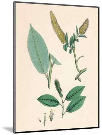 'Salix pentandra. Bay-leaved Willow', 19th Century-Unknown-Mounted Giclee Print