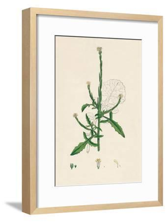 'Sisymbrium officinale. Common Hedge-mustard', 19th Century-Unknown-Framed Giclee Print