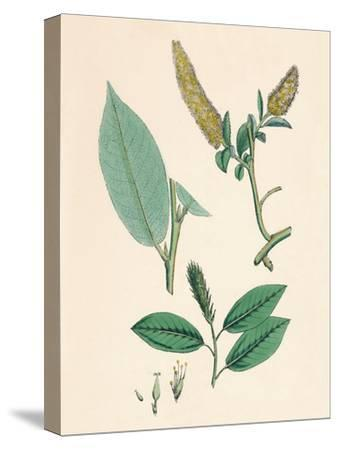 'Salix pentandra. Bay-leaved Willow', 19th Century-Unknown-Stretched Canvas Print