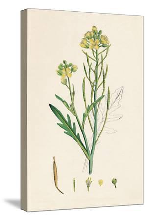 'Brassica tenuifolia. Wall rocket', 19th Century-Unknown-Stretched Canvas Print