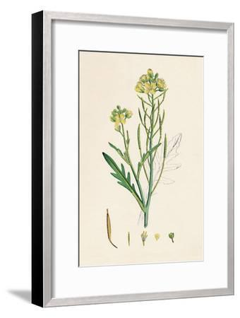'Brassica tenuifolia. Wall rocket', 19th Century-Unknown-Framed Giclee Print