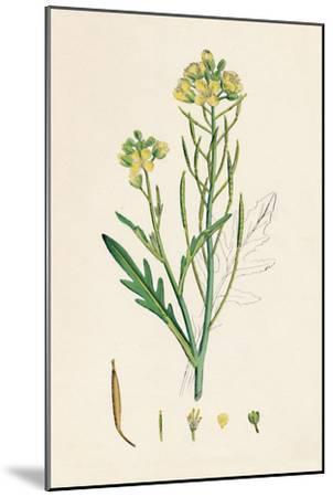 'Brassica tenuifolia. Wall rocket', 19th Century-Unknown-Mounted Giclee Print