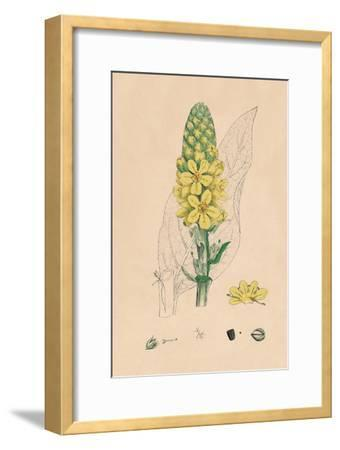 'Verbascum Thapsus. Great Mullein', 19th Century-Unknown-Framed Giclee Print