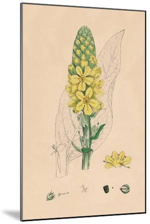 'Verbascum Thapsus. Great Mullein', 19th Century-Unknown-Mounted Giclee Print