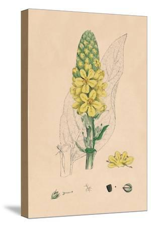 'Verbascum Thapsus. Great Mullein', 19th Century-Unknown-Stretched Canvas Print