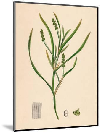 'Potamogeton zosterifolius. Grass-wrack-leaved Pondweed', 19th Century-Unknown-Mounted Giclee Print