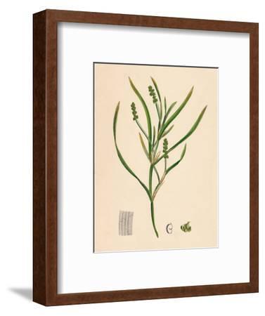 'Potamogeton zosterifolius. Grass-wrack-leaved Pondweed', 19th Century-Unknown-Framed Giclee Print