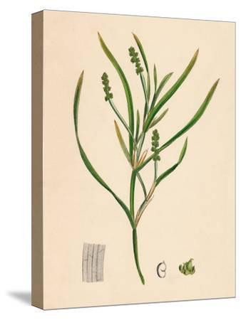 'Potamogeton zosterifolius. Grass-wrack-leaved Pondweed', 19th Century-Unknown-Stretched Canvas Print