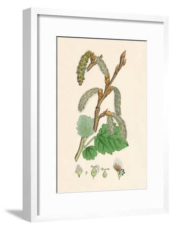 'Populus canescens. Gray Poplar', 19th Century-Unknown-Framed Giclee Print