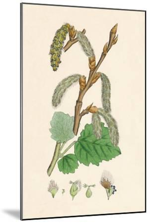 'Populus canescens. Gray Poplar', 19th Century-Unknown-Mounted Giclee Print