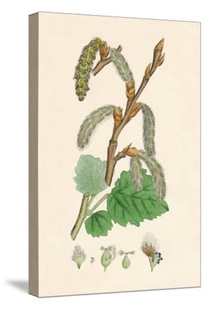 'Populus canescens. Gray Poplar', 19th Century-Unknown-Stretched Canvas Print